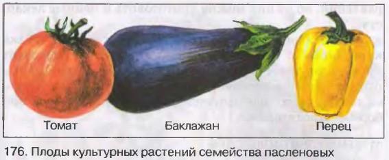 Плод- ягода (паслён, томаты, картофель, перец), коробочка (табак, душистый табак, петуния, белена)