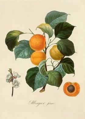 Абрикос обыкновенный, лечебные свойства, описание, применение, противопоказания, рецепты