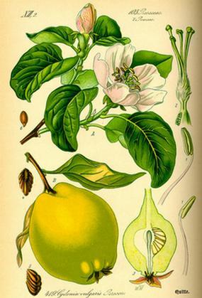 Айва продолговатая, лечебные свойства, описание, применение, противопоказания, рецепты, фото
