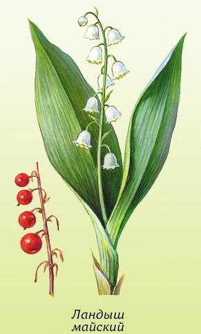 Ландыш майский, лечебные свойства, описание, применение, противопоказания, рецепты, фото
